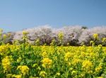 image菜の花